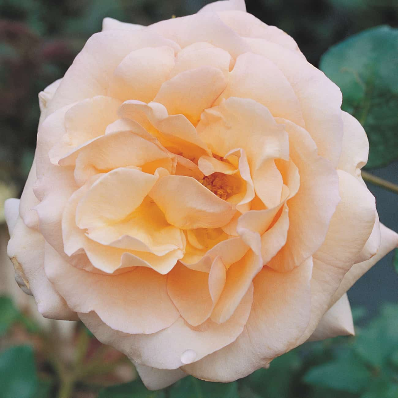 English Roses have natural, shrubby growth which makes them ideal for both rose borders and combining with other plants in mixed borders. The more compact English Roses work well in rose beds, whilst taller varieties can be trained against a post and rail fence.