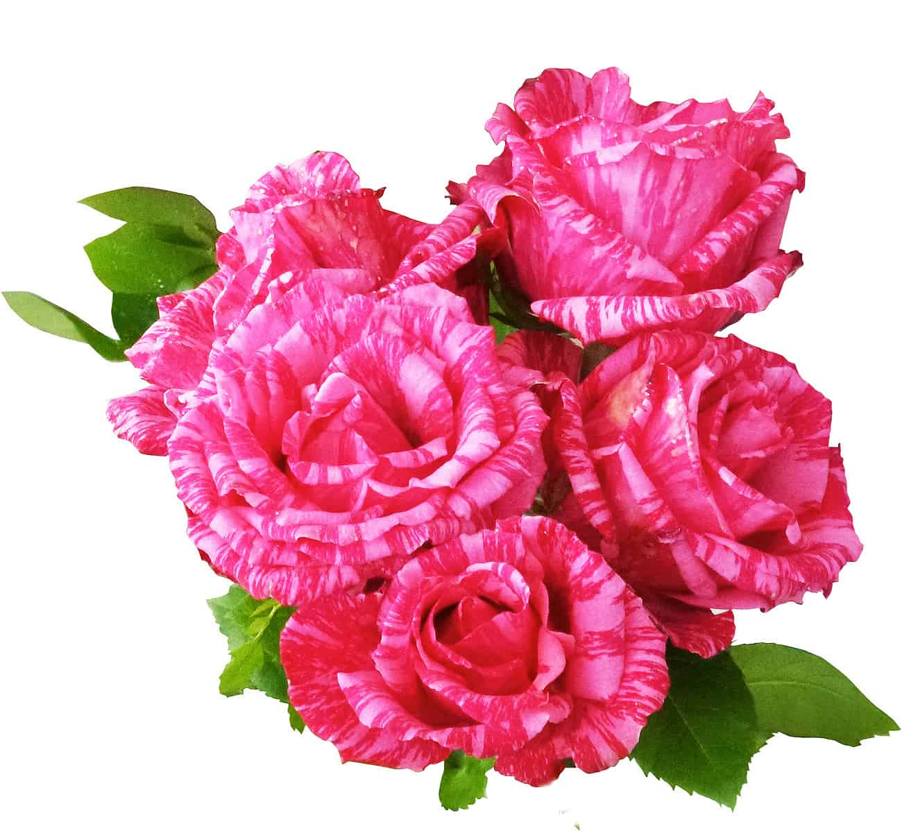 Pink Intuition Rankins Roses